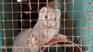 Dania przedłużyła o rok zakaz hodowli norek. W obawie przed mutacjami...