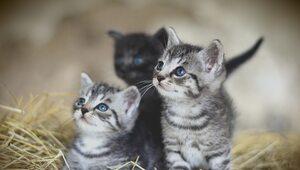 Kolejne odkrycie naukowców. Koty zarażają się koronawirusem, śpiąc w...