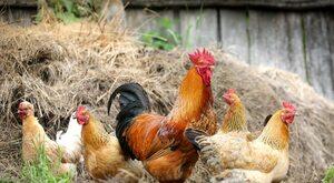 """""""Piątka dla kurczaków"""", czyli kolejny bzik Unii Europejskiej"""