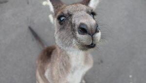 Tego widoku mieszkańcy Rumi długo nie zapomną. Po ulicach skakał... kangur