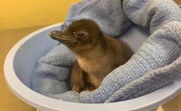 """""""Say hello to - Pierogi"""" - czytamy na Twitterze ZOO, które oddało wybór imienia pingwina internautom"""